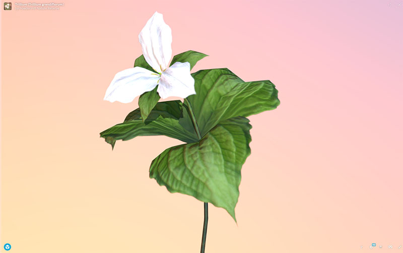 Figure 10: AR, VR, 3D Plant Model, Trillium (Trillium grandiflorum), demonstrating rotation and zoom