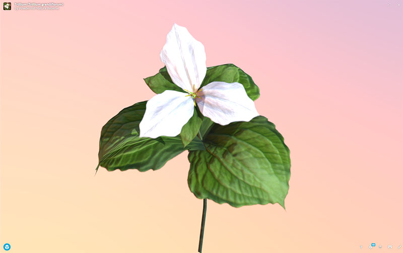 Figure 11: AR, VR, 3D Plant Model, Trillium (Trillium grandiflorum), demonstrating rotation and zoom