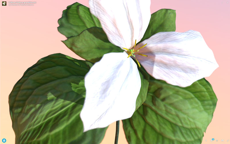 Figure 12: AR, VR, 3D Plant Model, Trillium (Trillium grandiflorum), demonstrating rotation and zoom